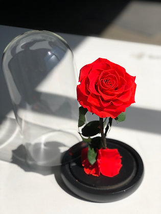 perfect gift red rose under a Glass Dome