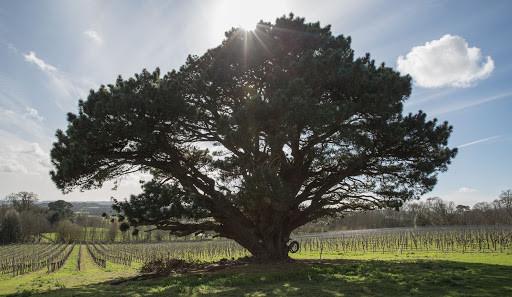 Stopham vineyard with tree.jpg