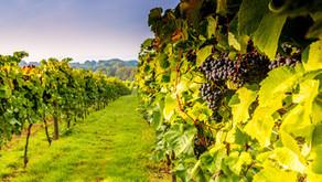 Sussex vineyard prepares for harvest & launches new restaurant menu for autumn