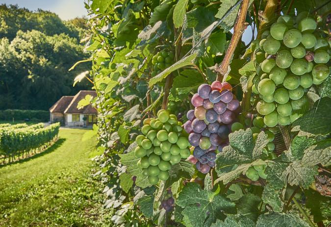Pinot Meunier grapes in 2018.jpg