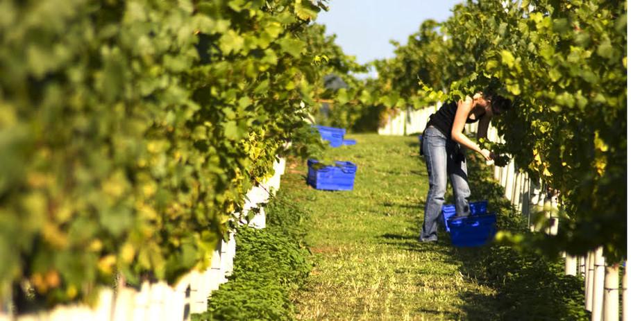 vineyard harvest.jpg