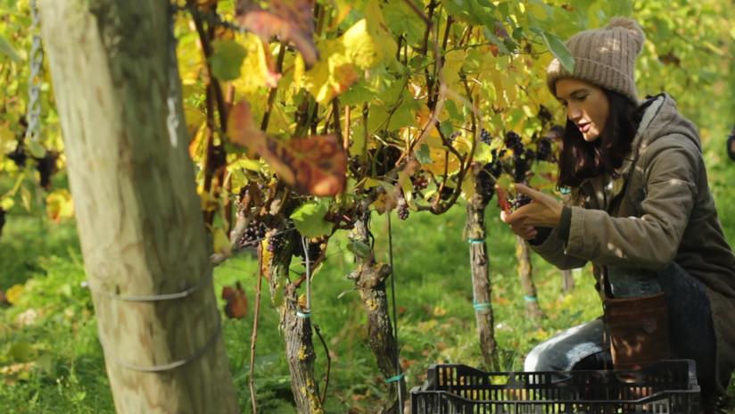 Kirsty Goring - Wiston Estate harvest 20