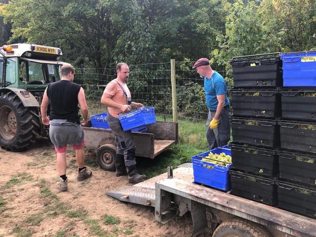 harvesting the bacchus.JPG