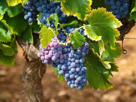 vines-1747224_1920.jpg