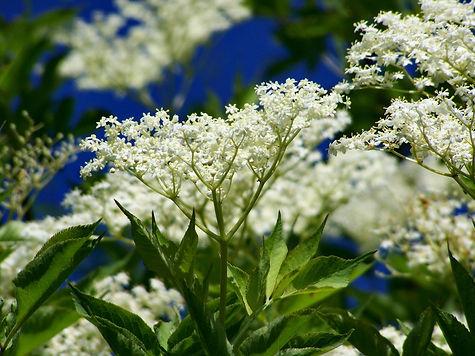 elderflower-3419130_1920.jpg