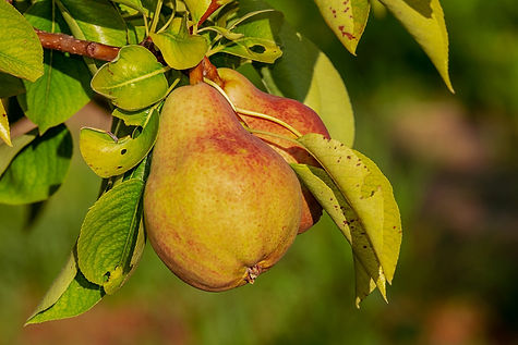 pear-3560106_1920.jpg