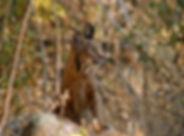 lince ibérico Andújar