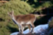 Cabra montés Sierra Nevada