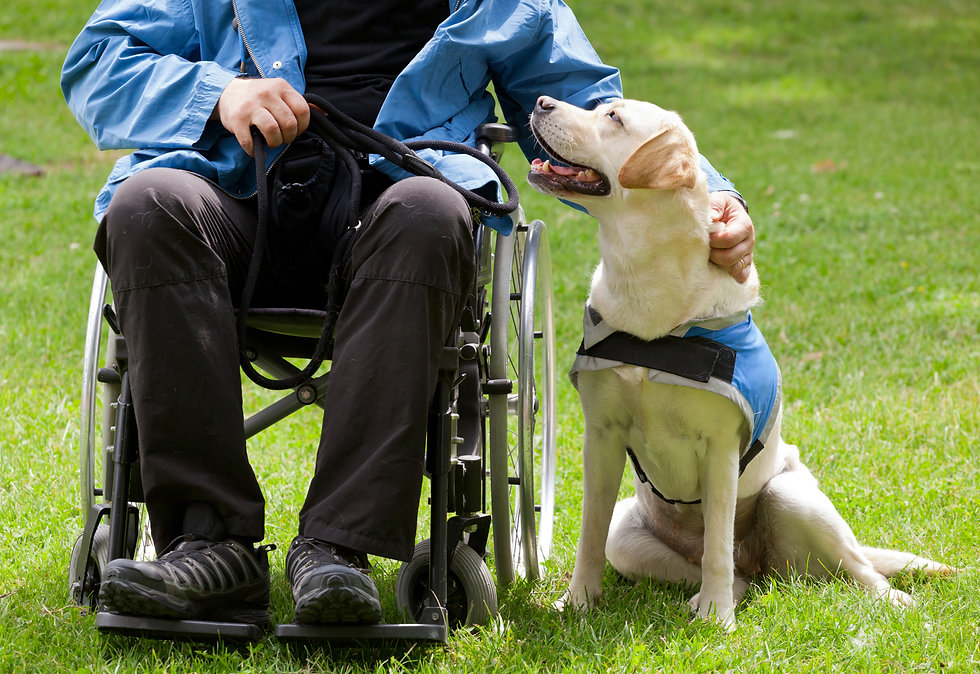 Labrador guide dog and his disabled owne