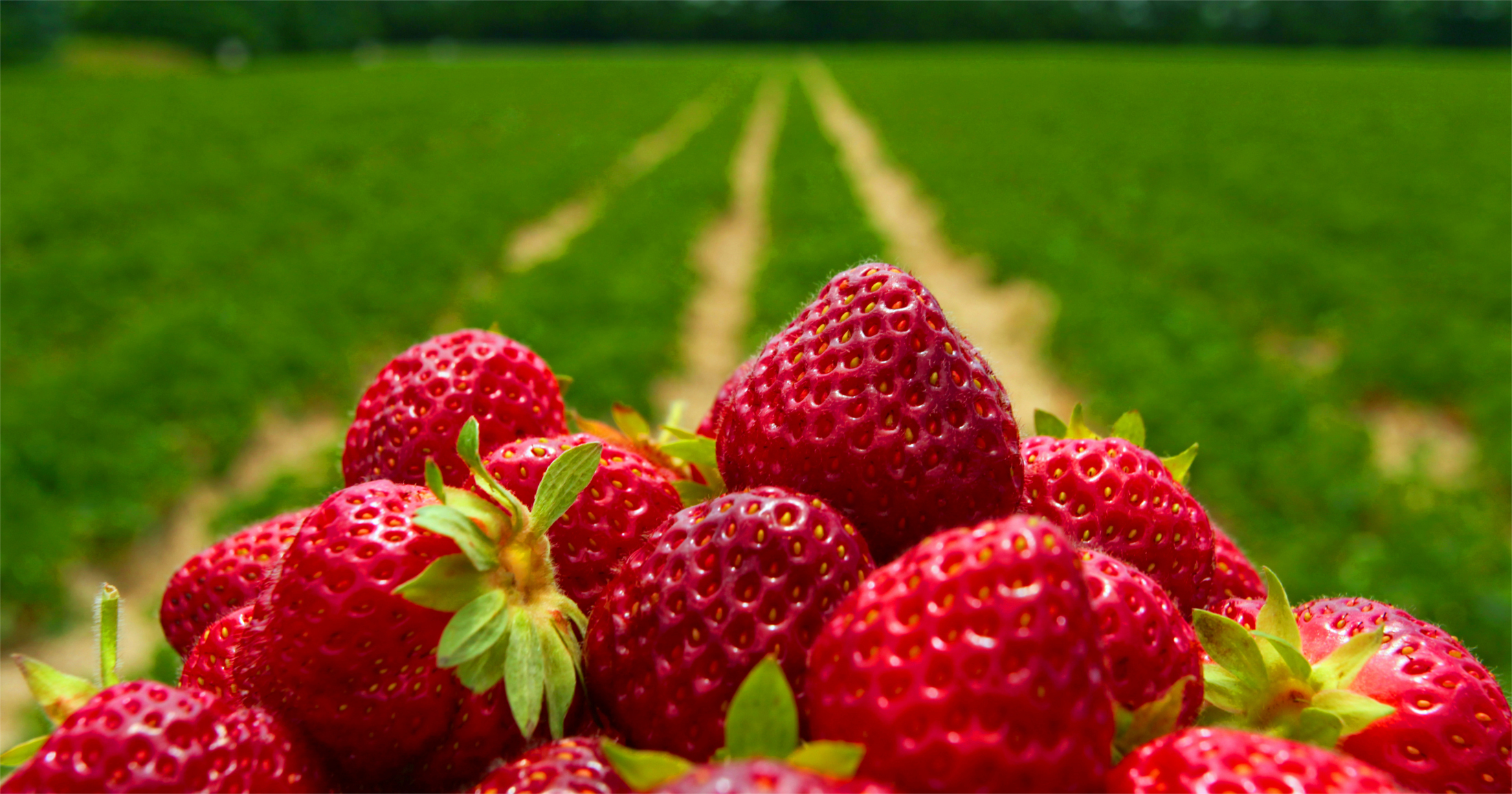 strawberry Field 1- small