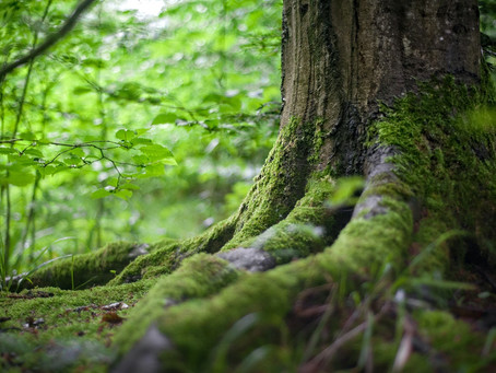 Why tree growth slows and stops in August