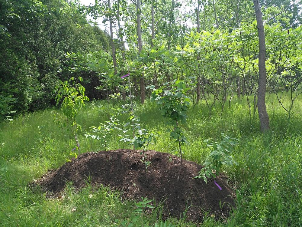 Tree saplings planted in berm in Guelph Arboretum