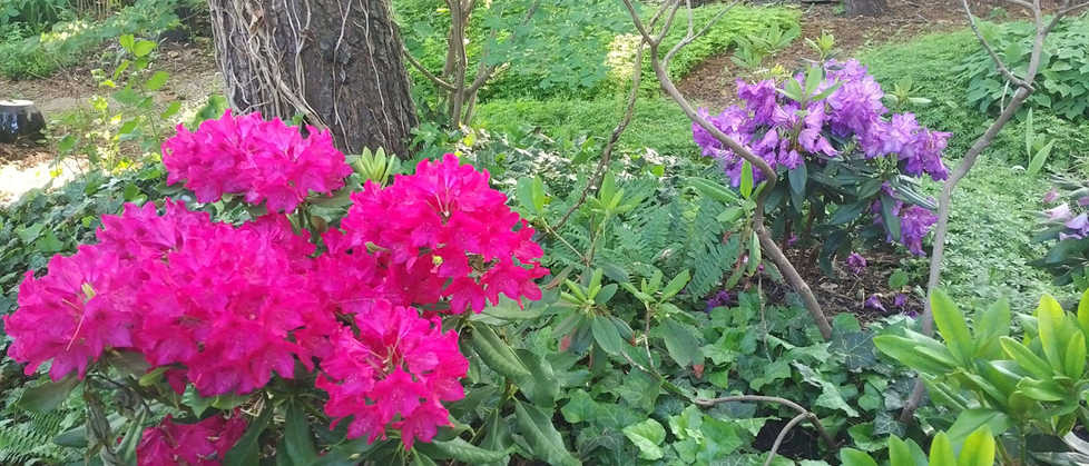 Colourful Rhododendrons in backyard