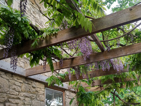 Welcome the Wisteria
