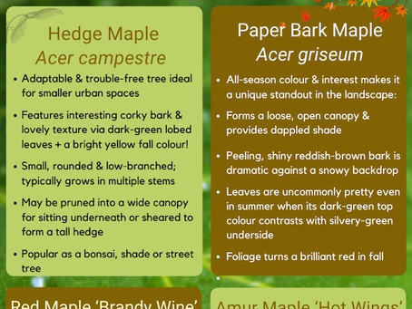 Top MAPLES Under 10 Metres for Urban Home Landscapes (Zone 5)