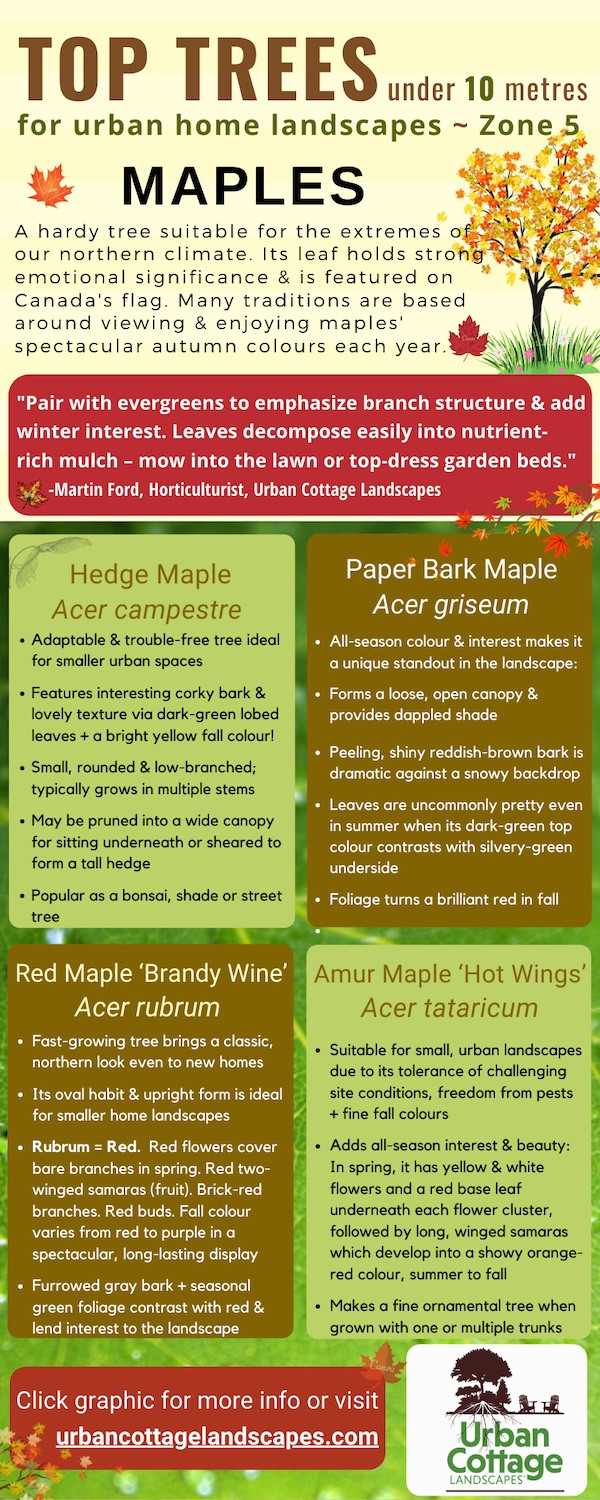 top maples for home landscapes, unusual maples, top trees for urban landscapes