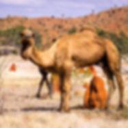 Camel in Boulia.jpg