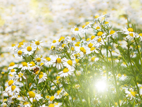 Steun de bijtjes, leg een bloemenweide aan