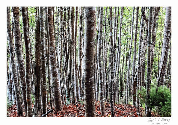 Fine Art Print - 'Young Kauri Forest' Little Huia