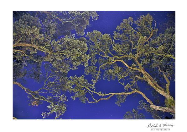 Fine Art Print - 'Pohutukawa Blue' Titirangi (night photography)