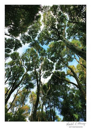 Fine Art Print -'Majestic Kanuka' Bethells NZ Native Kanuka