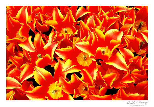Fine Art Print -'Tulips on Fire'
