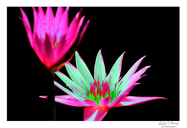 Fine Art Print - 'Waterlilies'