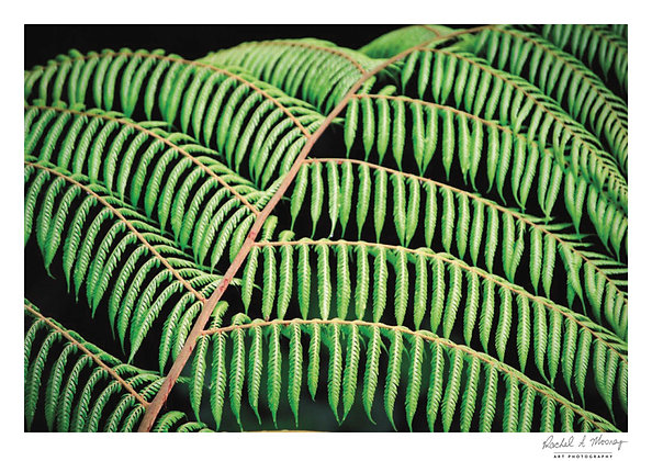 Fine Art Print -'Ponga Pegs' Waitakere Ranges NZ Native Fern