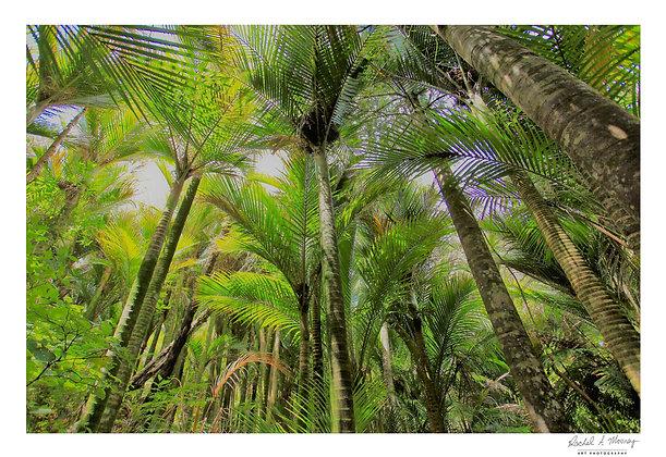 Fine Art Print -'Nikau Palm Forest' Waiwera NZ Native Palms