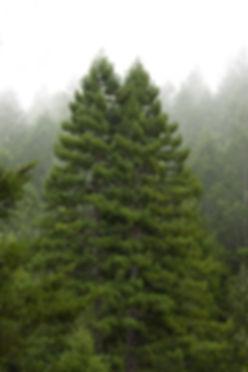 Twin Giants canopy, Mist.jpg