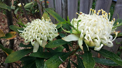 Our white waratah's in bloom