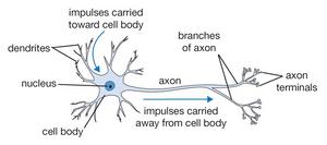 diagram of neuron activity