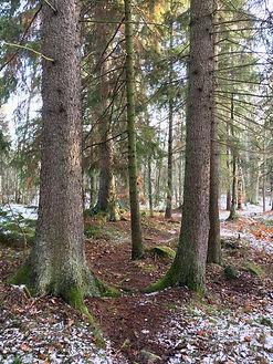 Tallar,+skogsportal.+Foto-+Jenny+Rosen,+