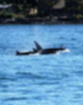 orca-3592559_1920.jpg