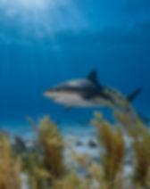 CoralReefImageBank_Sharks_HannesKlosterm