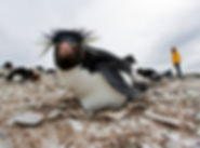 FALKLAN ISLANDS ROTSSPRINGER PENGUIN.jpg