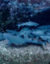 ImageBank_Sharks_Amanda Cotton_07.jpg