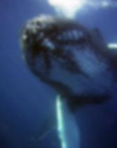 humpback-79854_1920 (1).jpg