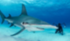 ImageBank_Sharks_Amanda Cotton_06 4.jpg