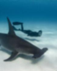 ImageBank_Sharks_Amanda Cotton_08.jpg