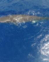sperm-whale-1629484_1920.jpg