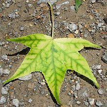 220px-Sweetgum-leaf-interveinal-chlorosi