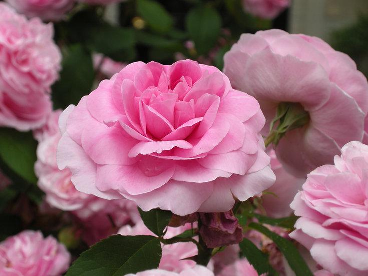 Summer Rose, Photograph