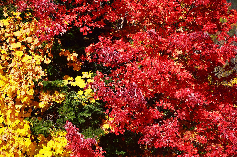 Bright Yellow and Red Leaves