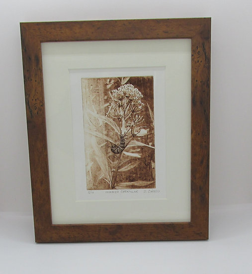 """Monarch Caterpillar"" Solar Plate Framed Etching"