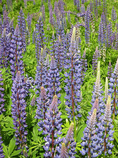 Many Lupines, Photograph