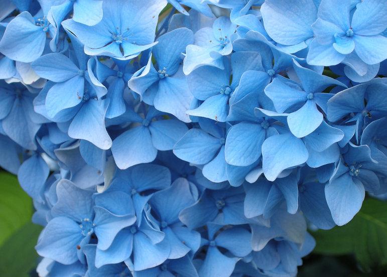 Blue Hydrangea, Photograph