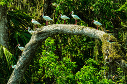 Ibis in tree