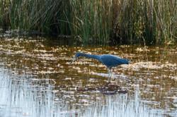 Heron - Little blue
