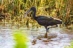Ibis- Glossy